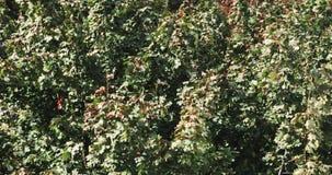 Pełnego ramowego natury wietrznego tła drzewny ulistnienie 4K zbiory wideo