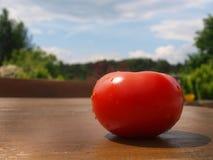 Pełnej rewolucjonistki Pojedynczy Pomidorowi Świezi warzywa Fotografia Stock