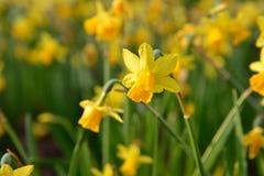 Pełni dmuchający narcyzów kwiaty Fotografia Royalty Free