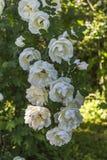 Pełni lata róże Fotografia Stock