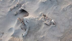 Pełny barani zredukowany lying on the beach na piaskowatej plaży Portnoo, okręg administracyjny Donegal, Irlandia - zdjęcie wideo