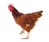 pełny ciało brown kurczak, kurny spacer odizolowywał białego tło u Zdjęcia Royalty Free