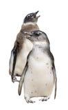 Pełny ciało portret dwa pingwinu odizolowywającego na bielu zdjęcia royalty free