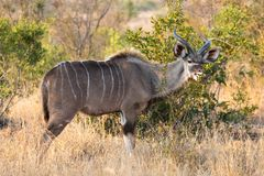 Pełny ciało profilu portret młoda dorosła samiec lesser kudu, Tragelaphus imberbis w afrykanina krajobrazu łasowaniu, opuszcza z  fotografia stock