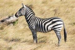 Pełny ciało profilu portret pospolita zebra, Equus kwaga w górę zamkniętej pozycji w wysokiej trawie sawanna w Kenja, zdjęcia stock