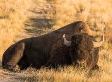 Pełny ciało strzelał byka bizon, żubr kłaść w trawy polu obrazy royalty free