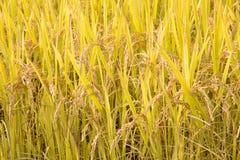 Pełny dojrzewa ryż w jesieni Zdjęcie Stock