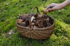 Pełny kosz świeże jesieni pieczarki Obraz Stock