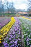 Pełny kwitnący krokusów kwiatów pole Obrazy Stock