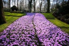 Pełny kwitnący krokusów kwiatów pole Obraz Royalty Free