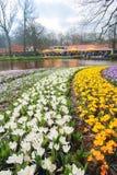 Pełny kwitnący krokusów kwiatów pole Obraz Stock