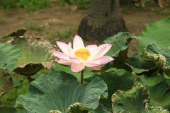 Pełny kwitnący lotosowy kwiat Fotografia Stock