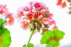 Pełny raindrops czerwieni menchii wibrujący pączki kwiatonośna kwitnąca pelargonium kwiatu roślina po deszczu od bellow obraz royalty free