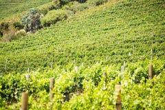 Pełny rama strzał zielony winnica Zdjęcie Stock