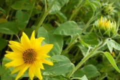 Pełny słonecznik wśród kwitnących słoneczników Zdjęcie Stock