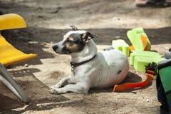 Pełny strzał dźwigarki Russell terier siedzi w ziemi Fotografia Stock