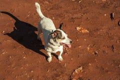 Pełny strzał dźwigarki Russell terier w pomarańczowej piasek ziemi Jesieni bac Fotografia Royalty Free