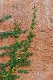 Pełzacz roślina Zdjęcia Royalty Free