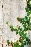 Pełzacz zielona Roślina Obraz Royalty Free