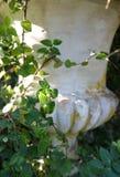 Pełzacz Zielona roślina Obrazy Stock