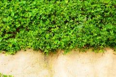 pełzacza zielonej rośliny ściana Obraz Royalty Free
