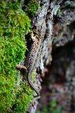 pełzającej jaszczurki mały drzewny bagażnik Obraz Stock