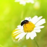 pełzający rumianku insekt zdjęcie royalty free