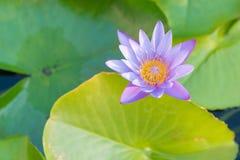 Pełnego kwiatu lotosowy kwiat na wodnym jeziorze Obraz Royalty Free
