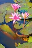 Pełnego kwiatu menchii lotosowi kwiaty Zdjęcia Stock