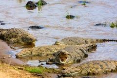 Pełni krokodyle na bankach Mara rzeka Wielka migracja, Kenja Zdjęcie Stock