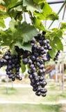 Pełni przyczep purpur winogrona Obrazy Royalty Free