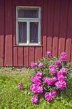 A peônia bonita de florescência cobre perto da parede da exploração agrícola do verão Fotos de Stock Royalty Free
