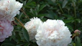A peônia branca bonita floresce no jardim do verão video estoque
