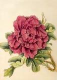 Peônia brilhante da flor ilustração royalty free