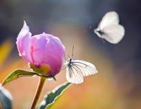 Peônia cor-de-rosa Imagens de Stock