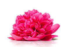 Peônia cor-de-rosa Fotografia de Stock Royalty Free