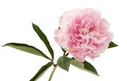 A peônia cor-de-rosa imagens de stock