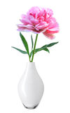 Peônia cor-de-rosa bonita no vaso branco isolado no branco Imagem de Stock Royalty Free