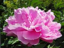 Peônia cor-de-rosa brilhante na flor completa Fotografia de Stock Royalty Free