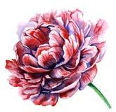 Peônia cor-de-rosa da aquarela No branco Fotografia de Stock Royalty Free