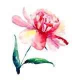 A peônia cor-de-rosa da mola maravilhosa bonita bonita bonito brilhante e vermelha erval floral isolou a ilustração da mão da aqu Imagem de Stock Royalty Free