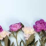 A peônia cor-de-rosa e branca floresce no fundo azul Fotografia de Stock