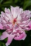 A peônia cor-de-rosa floresce, flores cor-de-rosa bonitas da peônia na flor completa mim Foto de Stock Royalty Free