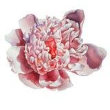 Peônia cor-de-rosa lindo Fotografia de Stock Royalty Free