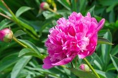 Peônia cor-de-rosa no jardim Fotografia de Stock Royalty Free