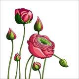 Peônia da cor da elegância no fundo branco Imagens de Stock Royalty Free