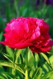 Peônia da flor da cereja Fotografia de Stock Royalty Free