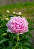Peônia de florescência no jardim fotografia de stock