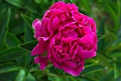 Peônia de florescência no jardim fotos de stock royalty free