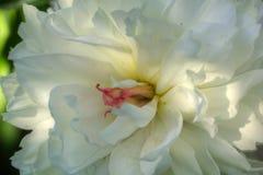Peônia Flor do jardim Foto de Stock Royalty Free